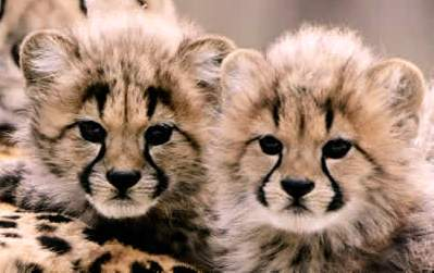 Image of: Baby Shower Baby Cheetah Animals Plants Rainforest Animals Plants Rainforest Baby Cheetah Facts And Information