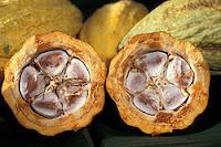 زراعة الكاكاو