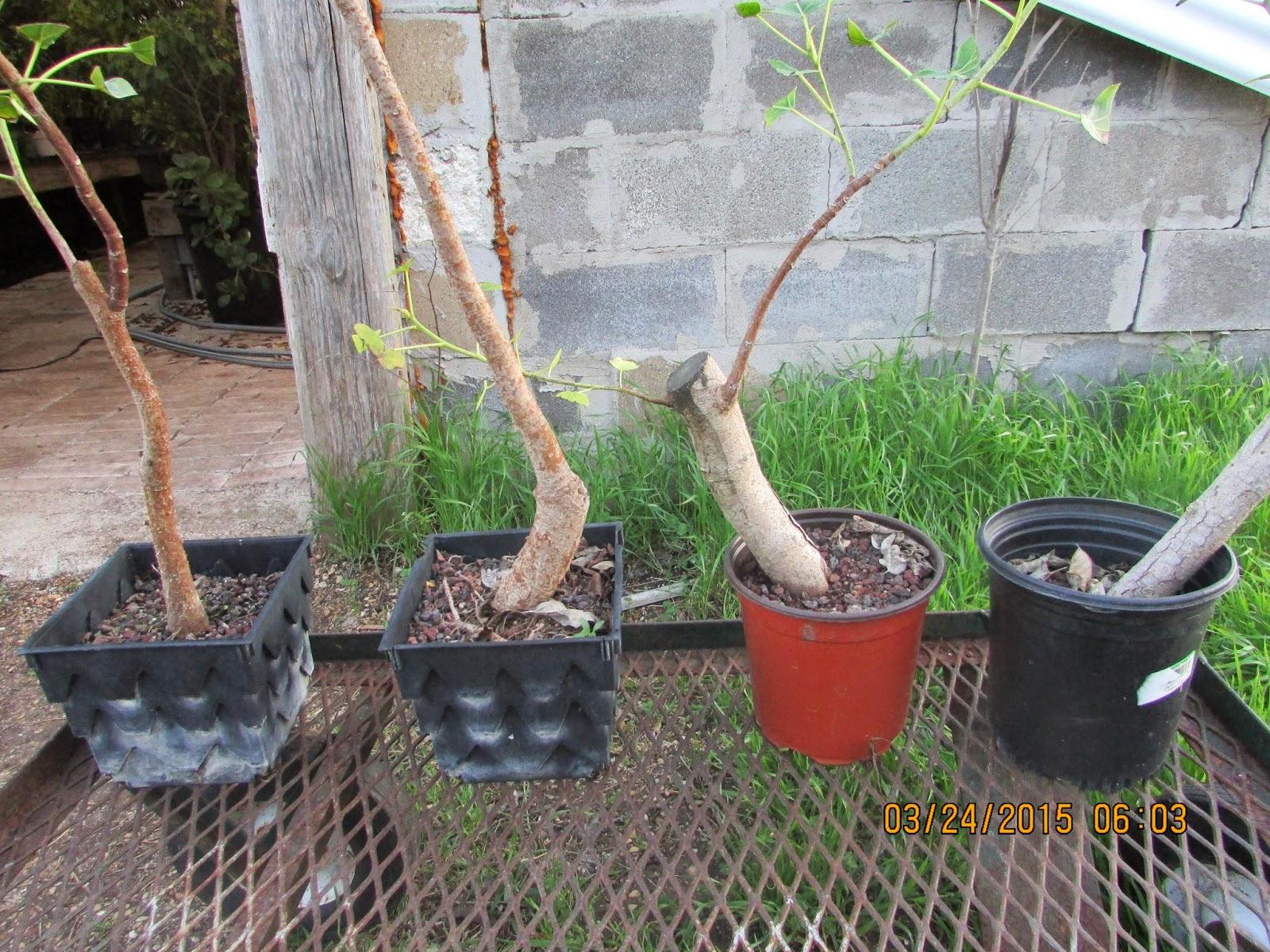 Bent Tree Bonsai Jeremy Pics Of Ficus Religiosa