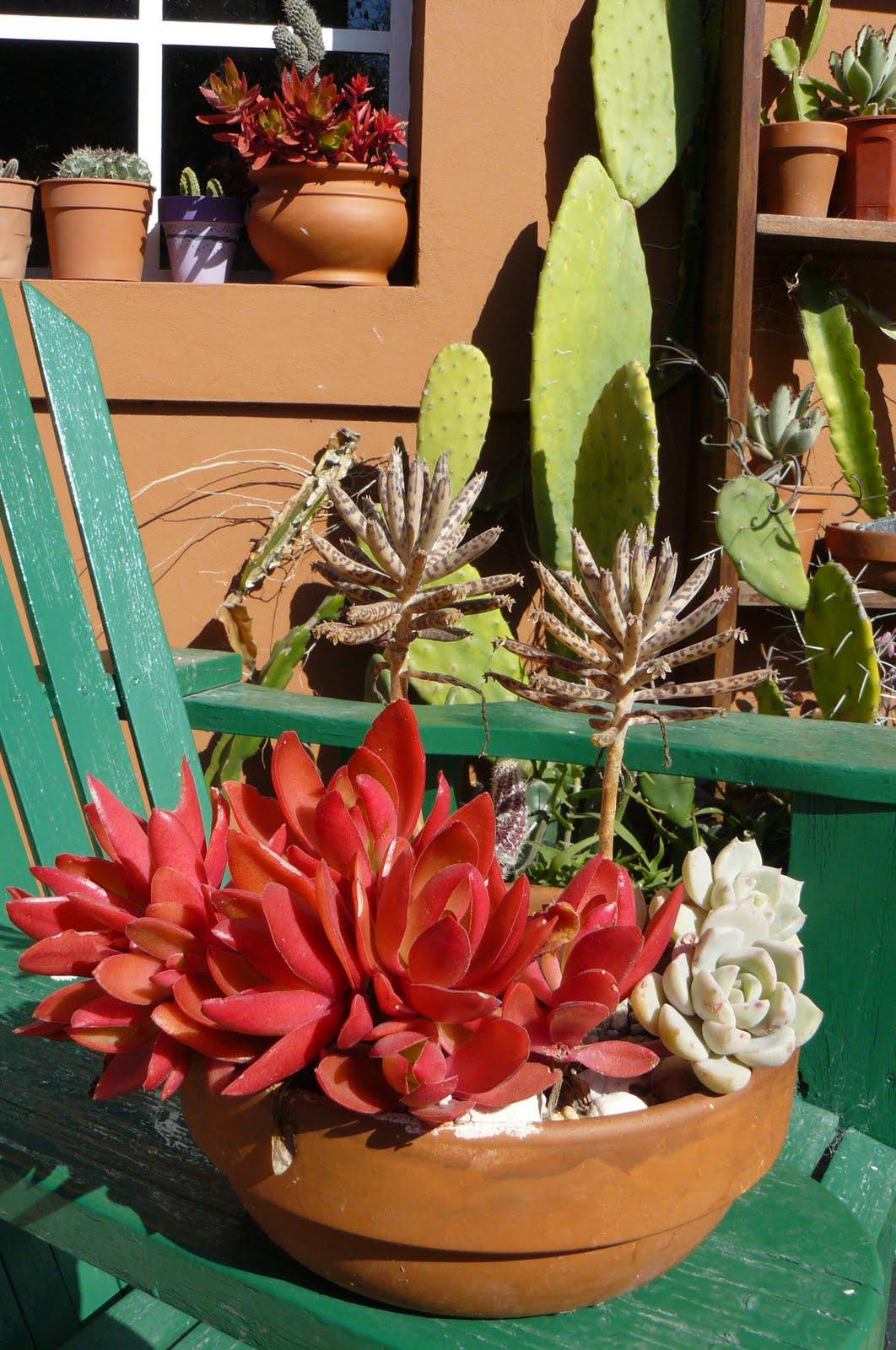 Jardines de cactus y suculentas crassula erosula for Cactus y suculentas