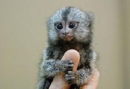 Unik, Monyet Terkecil di Dunia, Pygmy Marmoset