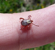 Dog tick (photo by Dee Puett) (dee dog tick)