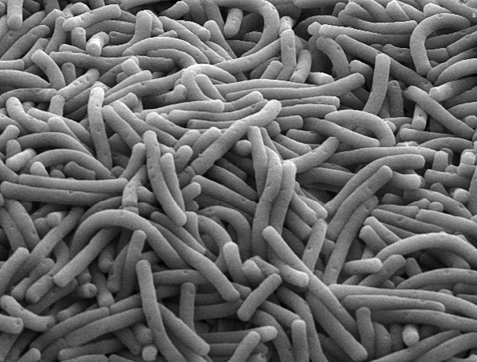 lactubacillus species Lactobacillus species are normal flora of the mouth, gastrointestinal tract, and female genital tract, where they produce lactic acid (affecting a low ph.