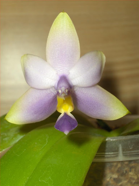 Phalaenopsis violacea coerulea, orchid species on flowering, adult flower detail