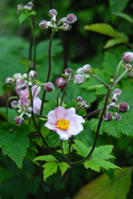 The first blooms of pink Japanese Anemones are beginning on the Front Walk.