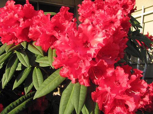 Lots of red rhododendron flowers in a row.