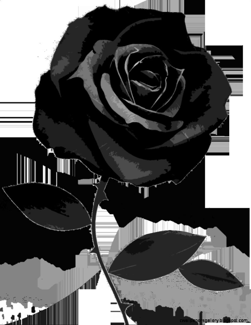 Black Rose White Background