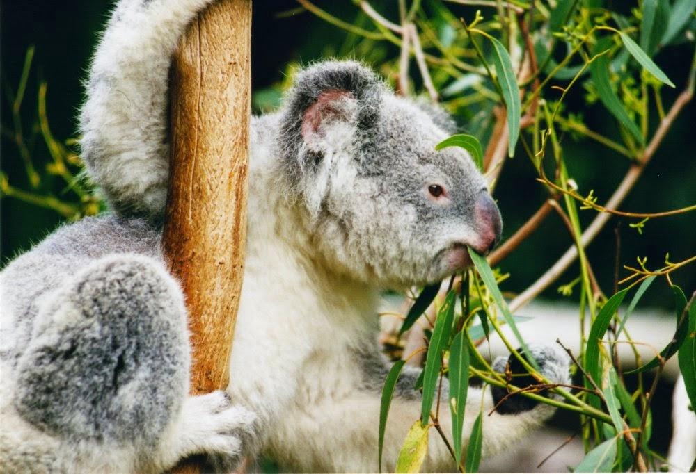 koala alimentándose de eucalipto