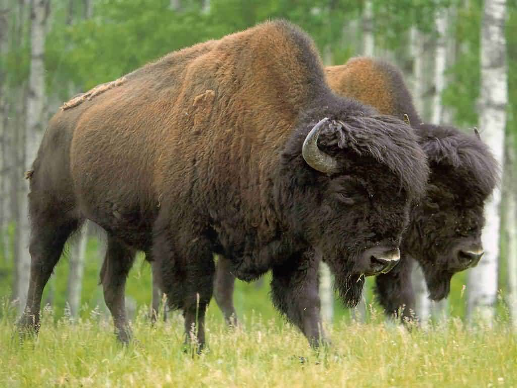 "A Bison Eats Copy of ""Adriana ..."