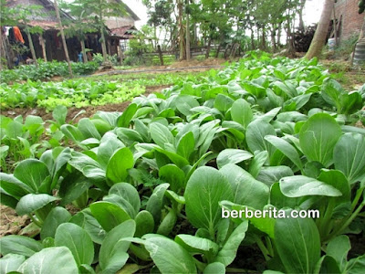 gambar tanaman organik sayur sawi