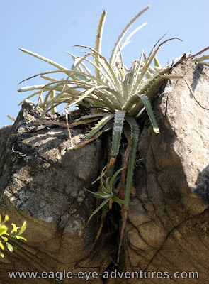Hechtia glomerata stolons