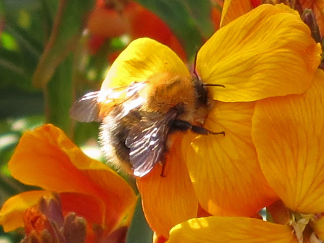 Common Carder Bee (Bombus (Thoracombus) pascuorum) (I think)