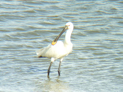Spoonbill at Castle Lake 2011
