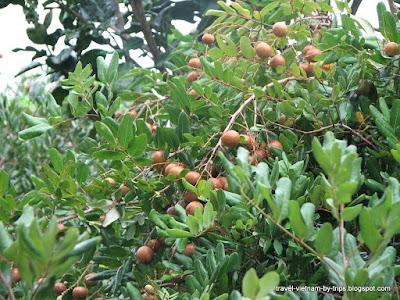 My Tho Longan orchard