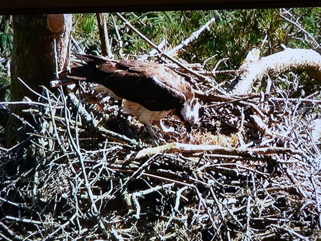 First pic of the new osprey chick in Tweed Valley