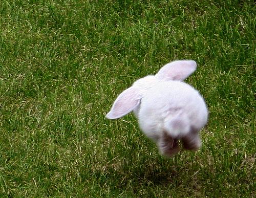 foto coelho saltando