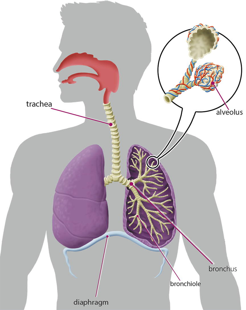 Respiratory system diagram grade 3 choice image how to www respiratory system diagram grade 3 choice image how to respiratory system diagram 6th grade images how ccuart Image collections