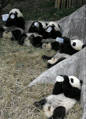 Fotos pequeños osos pandas alimentandose