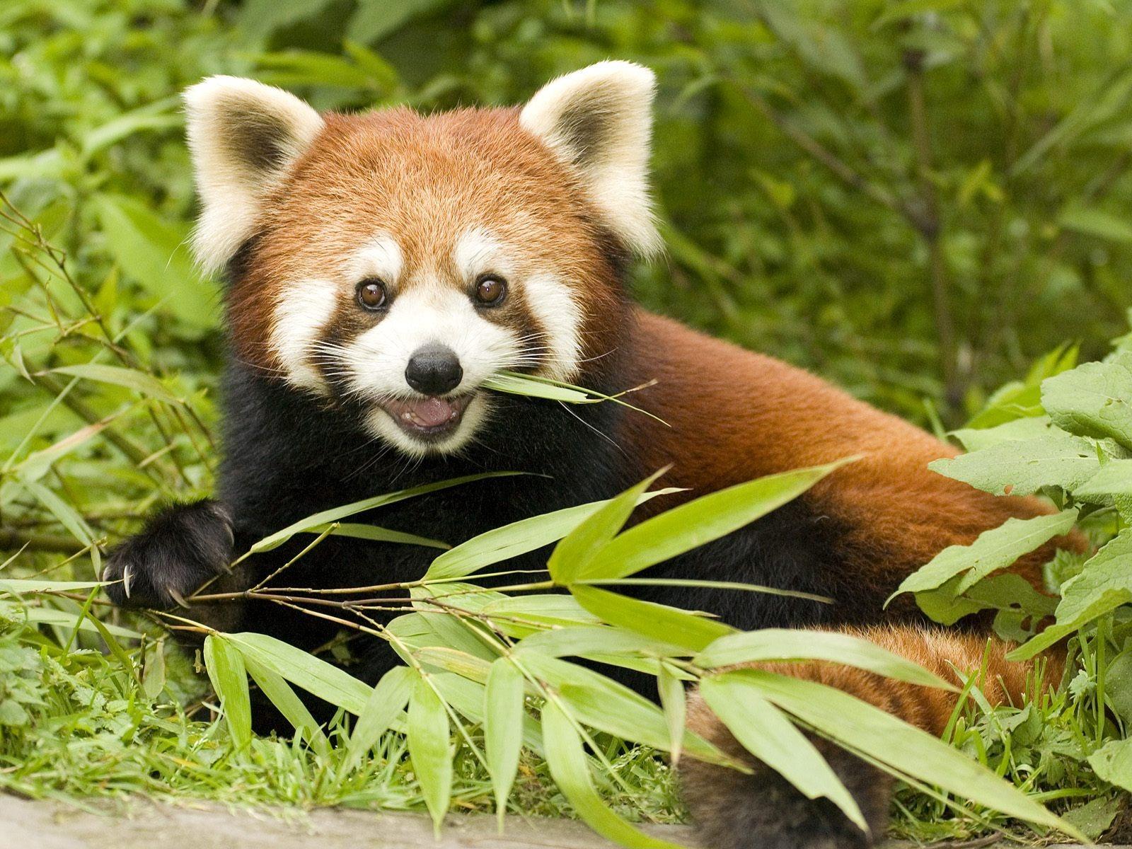 http://3.bp.blogspot.com/-8z51ezuc1xU/Tq0FvjzJnTI/AAAAAAAABdE/KwBpfNXS030/s1600/red_panda_eating_bamboo_wallpaper_bears_animals_wallpaper_1600_1200.jpg