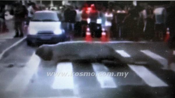 GAMBAR yang dirakamkan dari YouTube semalam menunjukkan seekor singa laut menyeberangi sebatang jalan raya di Balneario Camboriu, Brazil.