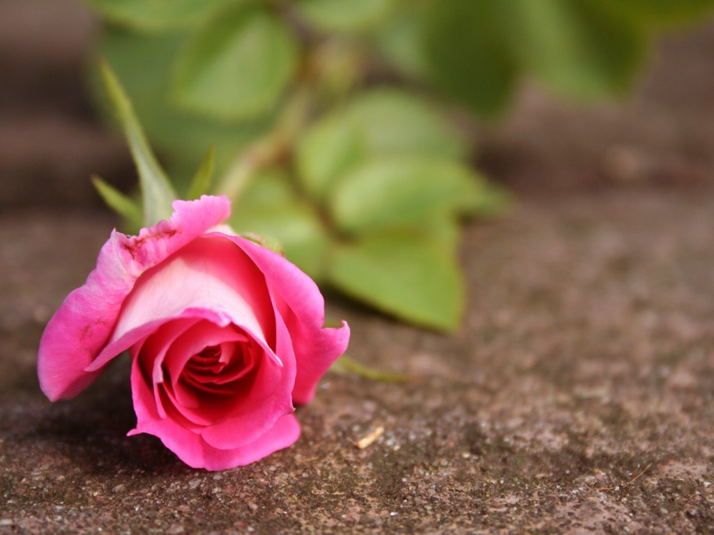beautiful pink rose wallpaper | - 91.3KB