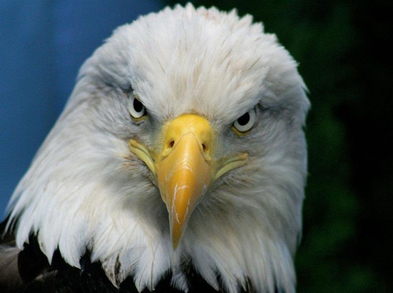 American Bald Eagle art portraits, photographs