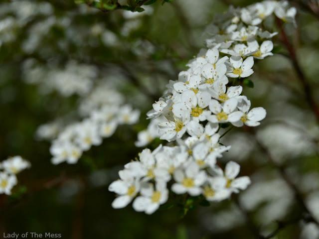 kukka, flower, norjanangervo
