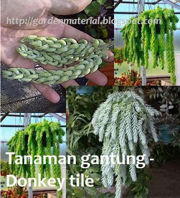 tanaman gantung donkey tail