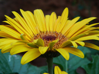 The yellow gerbera flower