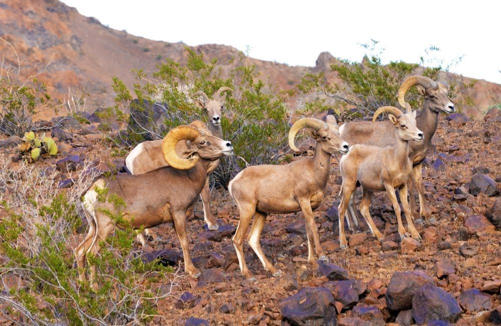 Desert Bighorn Sheep_4333