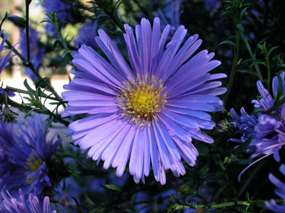 Flowers Planets Blue Aster Flowers