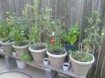 Thyme's Garden 2011