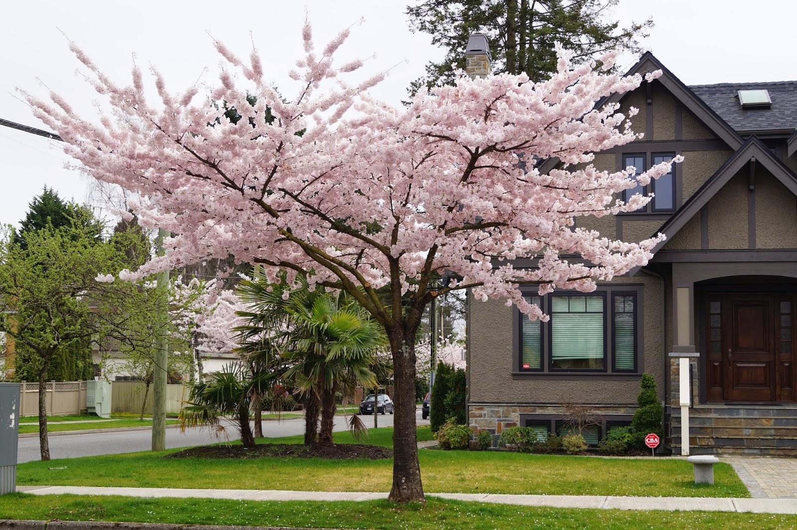 Сакура у частного дома