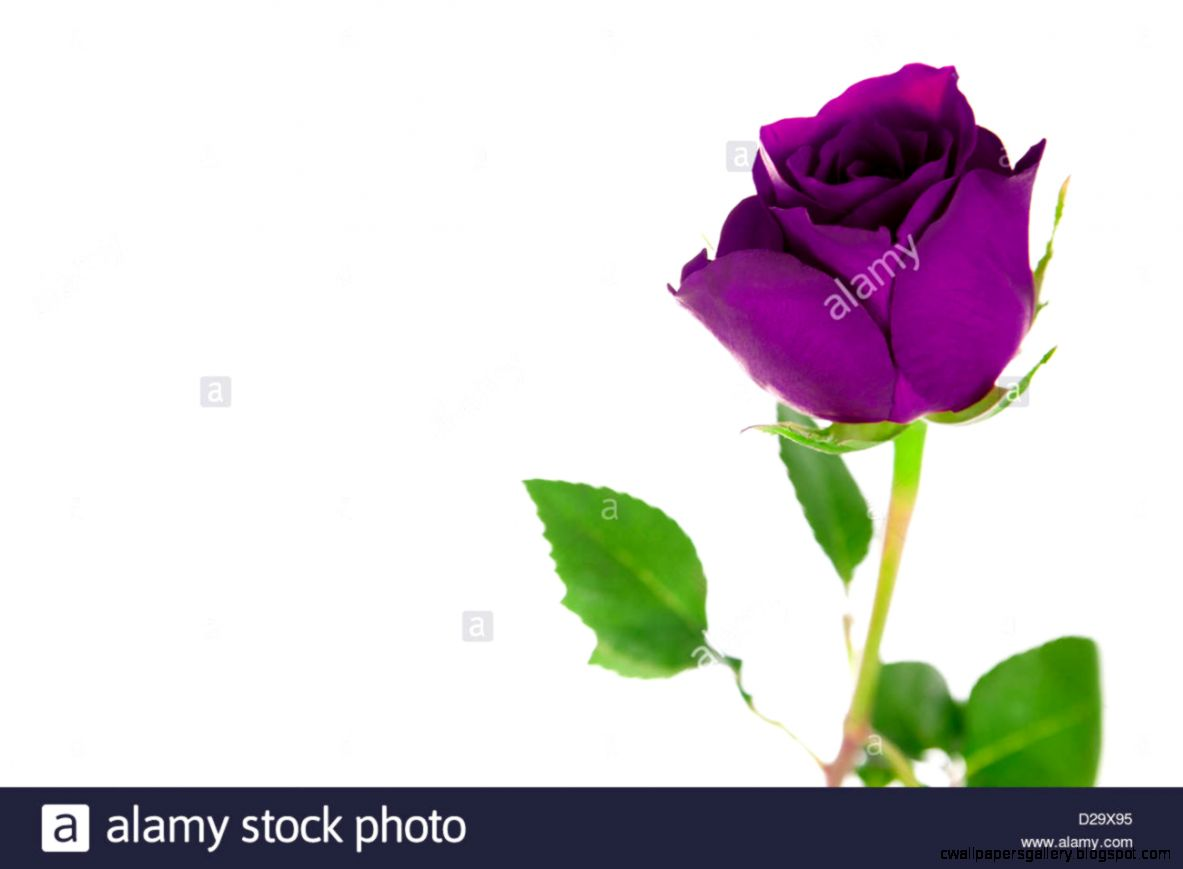 A Single Purple Rose On A White Background Stock Photo Royalty