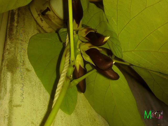 Metro Greens: Some blooms of the velvet beans.