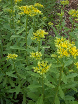 Future plants by randy stewart sedum orangish yellow flowers mightylinksfo