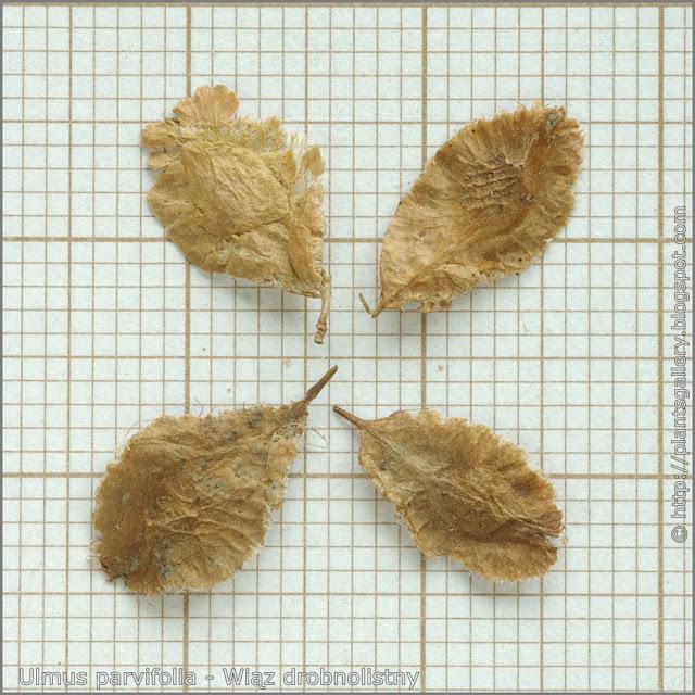 Ulmus parvifolia seeds - Wiąz drobnolistny nasiona