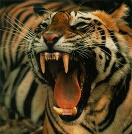 Macan Kemayoran