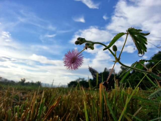 makahiya flower looking at the sky