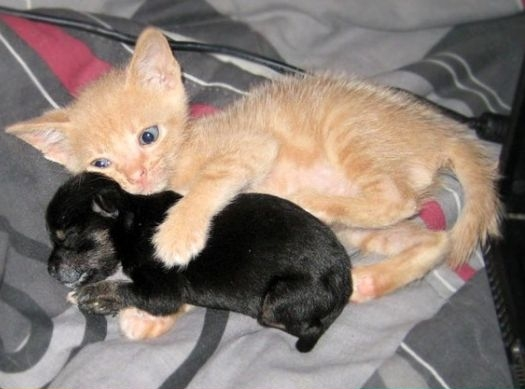 kitten and puppy are best friends 5 pics amazing creatures