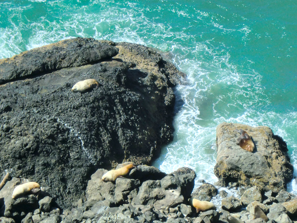 Sea Lions near Sea Lion Caves, Oregon