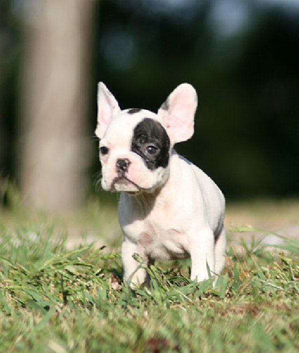 French bulldog puppies - photo#18