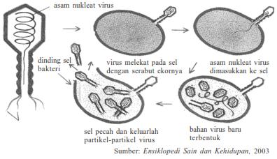 Gambar dari proses perkembangbiakan virus pada sel atau yang dikenal dengan replikasi virus
