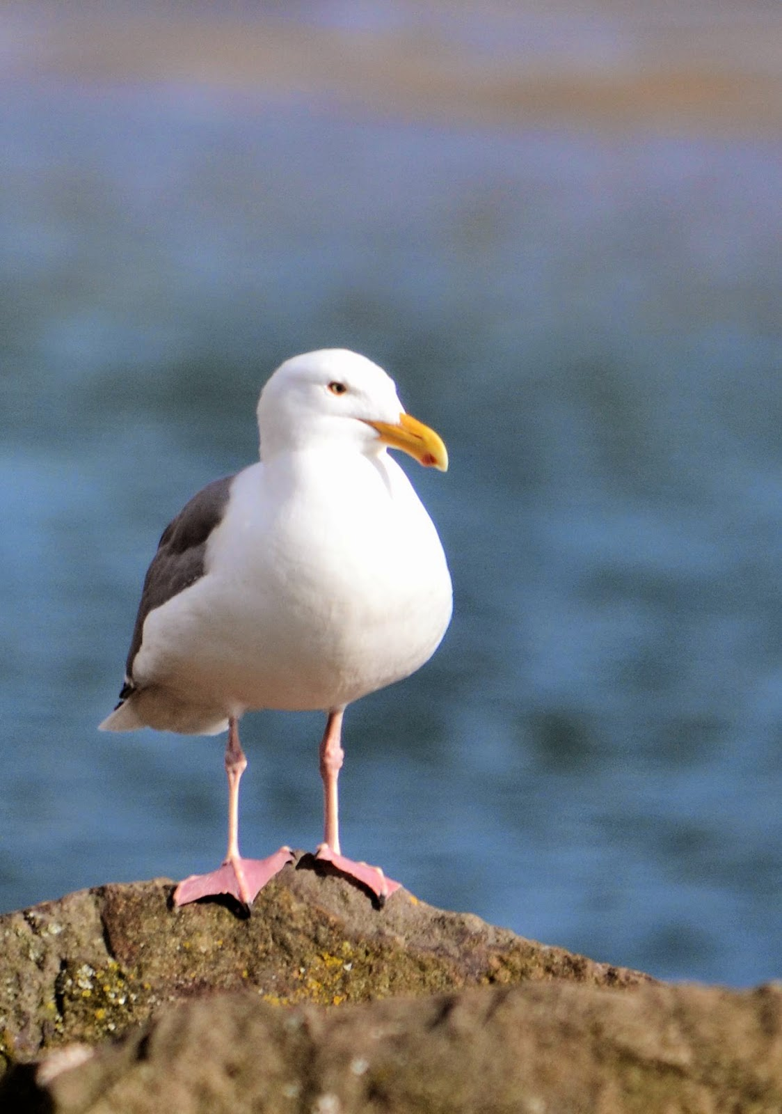 Seagull at Netarts Bay Oregon by Nancy Zavada