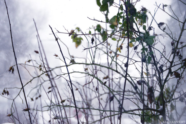 aliciasivert, alicia sivertsson, jul, mys, nyponbuske, fönster, frost, snö