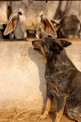 australian cattle dog with brahman cattle