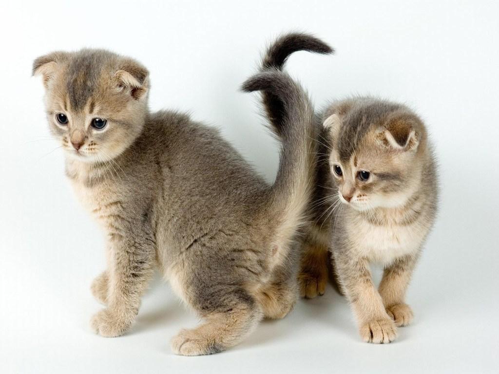 Котята вислоухие обои на рабочий стол