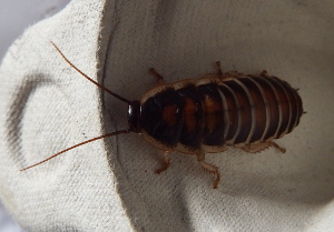 Baby cockroach on an egg box