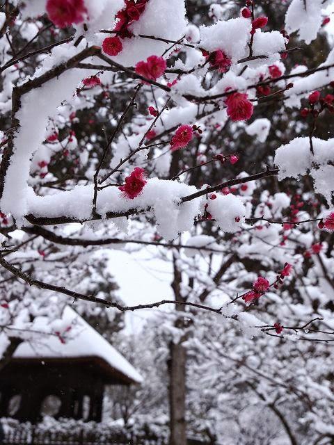 , Flores de Ameixeira, Plum Blossom,Blossom, Kawaii, Folclore Japonês, Crazy and Kawaii Desu,