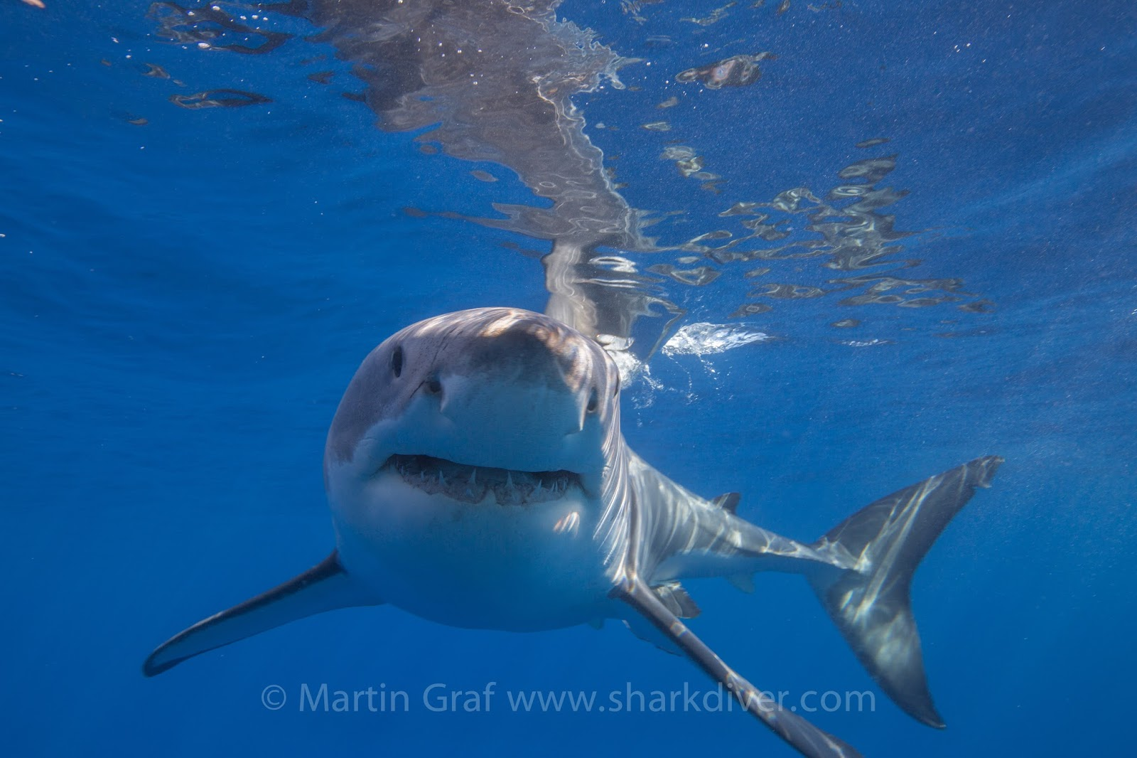 shark diver blog and industry blog shark diver part  the biggest shark at guadalupe island